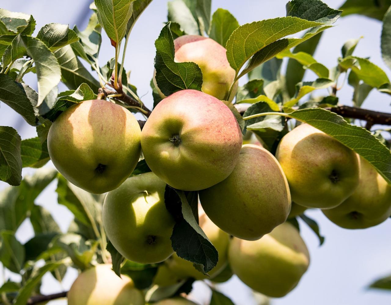 apple tree æbletræ