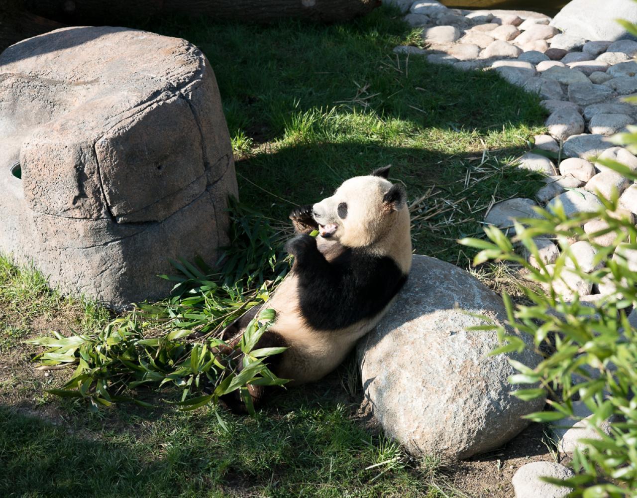 københavnsk panda