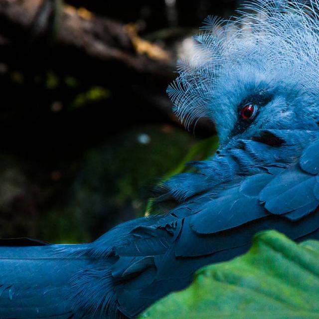 Blue bird, red eyes