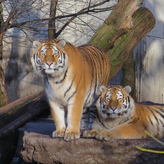 17/365 Tigers