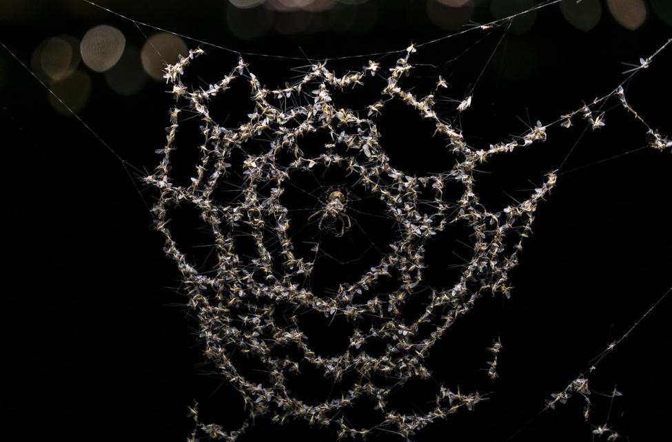edderkopper bro sortedams sø