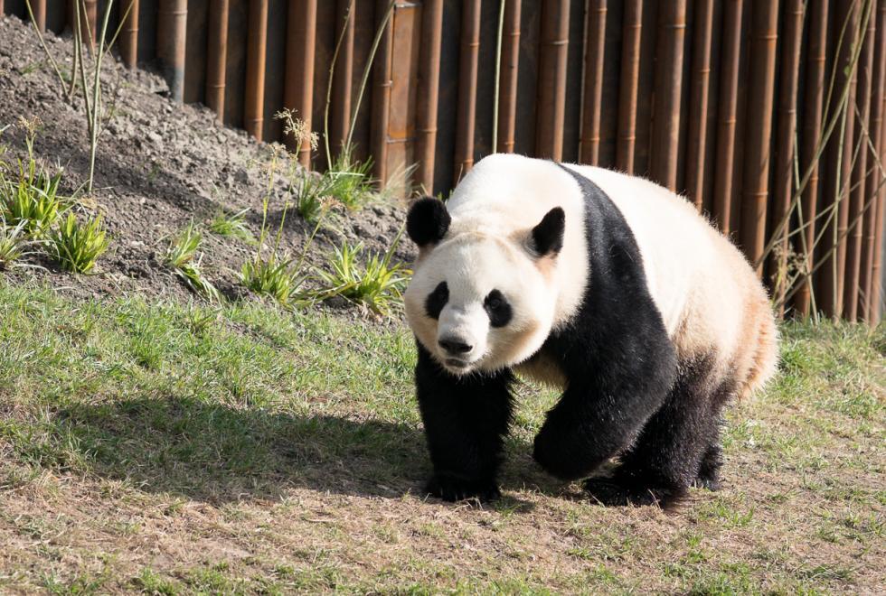 panda copenhagen zoo